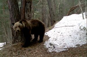 osos pirineus