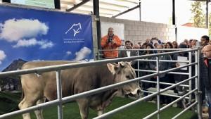 Races autòctones bovines catalanes