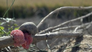 cargol poma