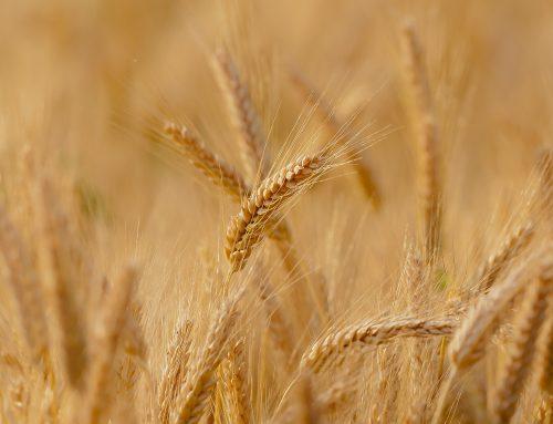 El blat de regadiu remunta tot i les complicacions inicials