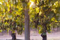 Els 5 cellers de Catalunya per tastar