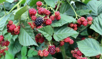 Móra, fruit silvestre i natural