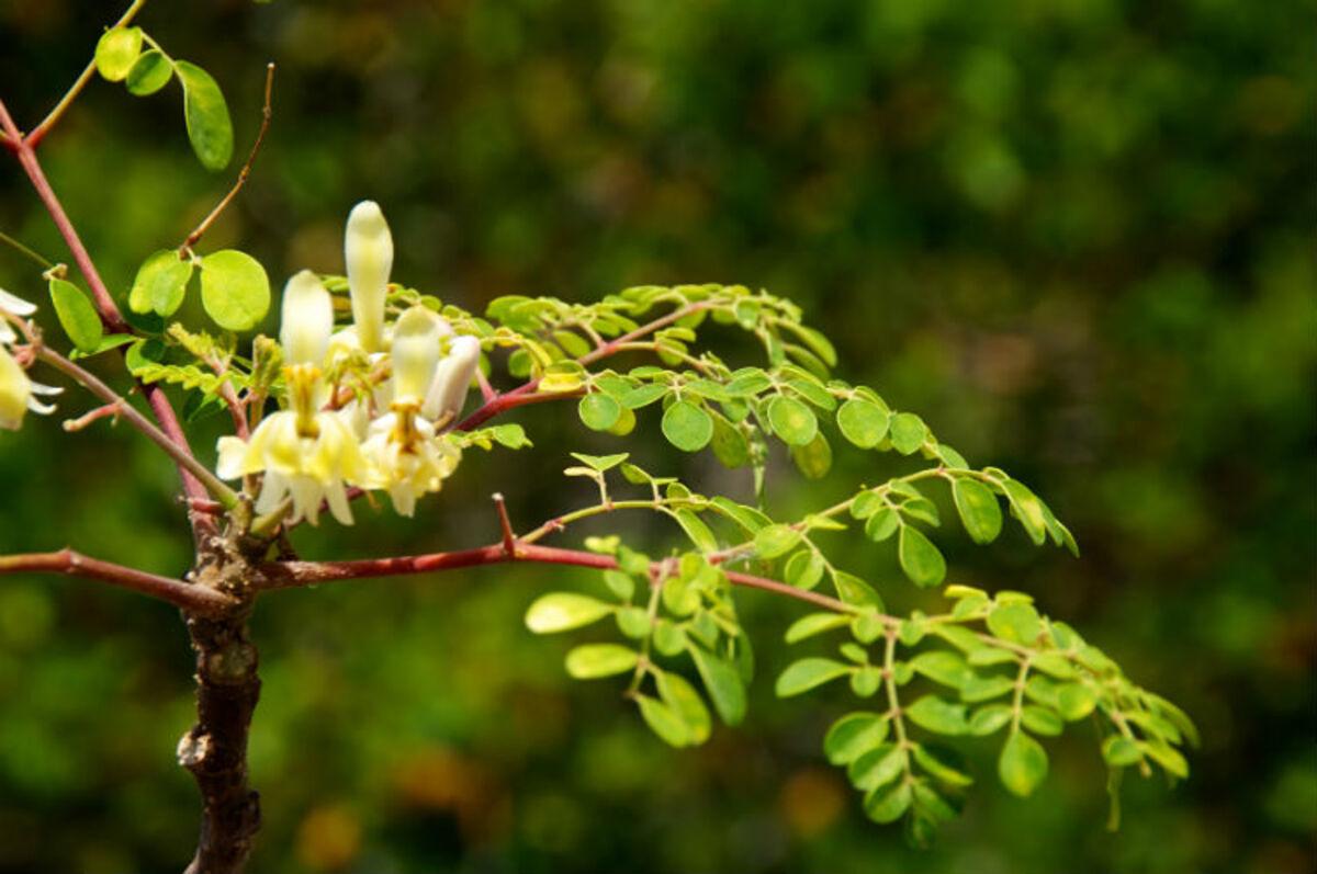 arbre-oli-de-ben