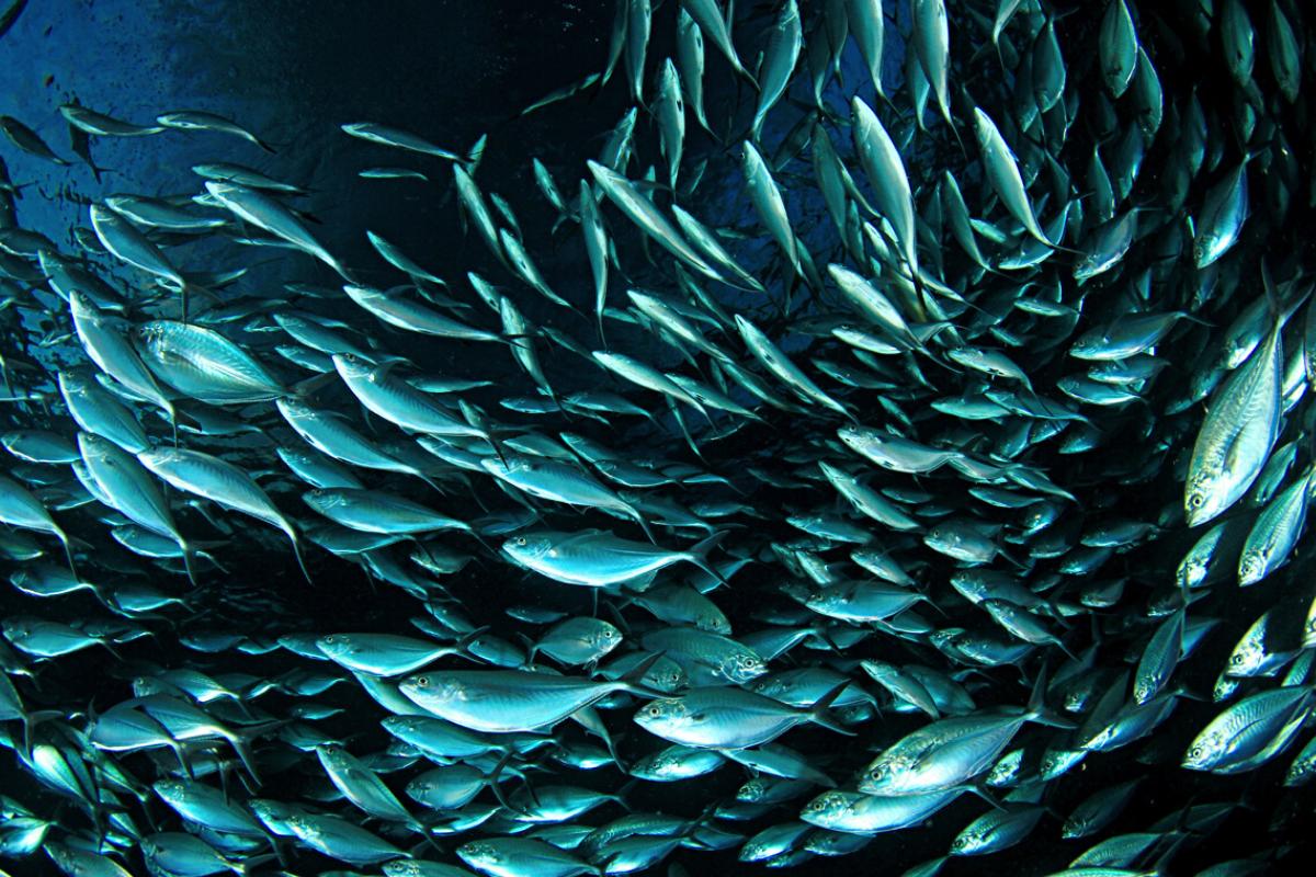 mercuri en els peixos