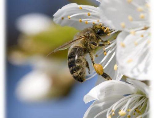La pandèmia salva a les abelles i la producció de mel