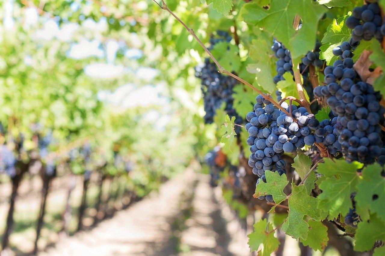 viticultura ecològica